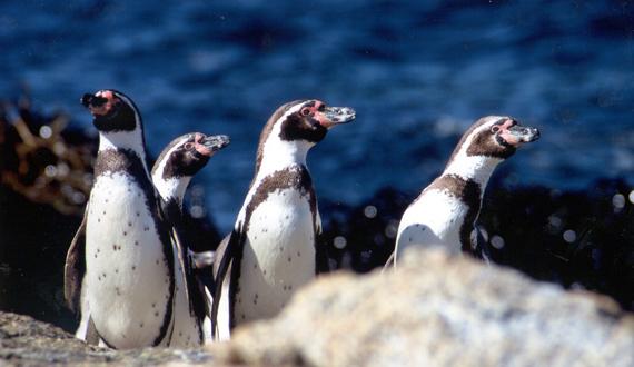 "Humboldt Penguins ""EMPOWER IAS"""